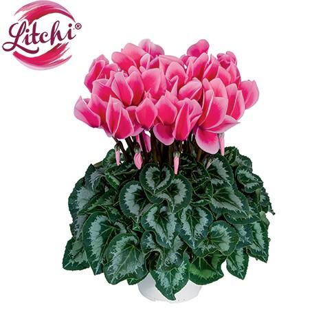 Halios Litchi Fuchsia
