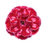 Rose Picotee