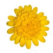 yellow imp