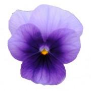 Violetto sfumato