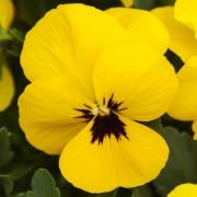 yellow w. blotch