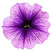 Lilac Vein