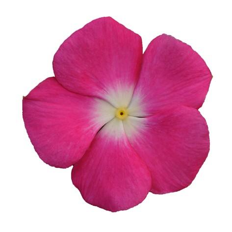 rosa con occhio