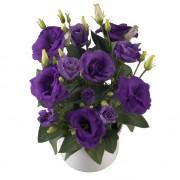 lavender blue