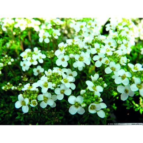 Hutchinsia alpina