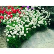 alba white
