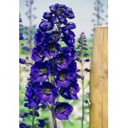 Violetto scuro