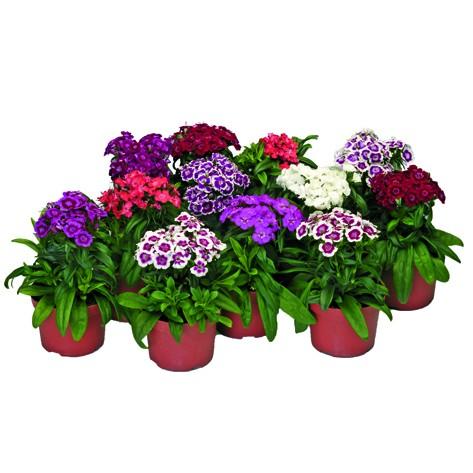 """Dianthus """"Barbarini"""""""
