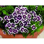 purple picotee