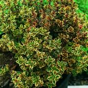 Thymus hybrid