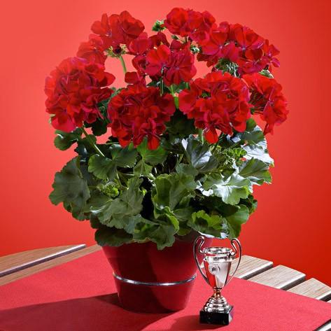 Champion Red