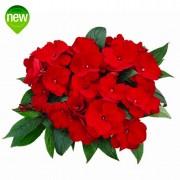 Orona Red IMP