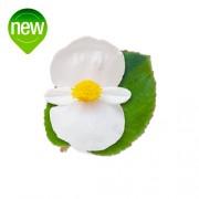 White green leaf