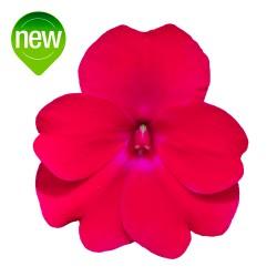 Rose Glow