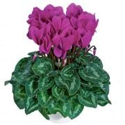 violet vif