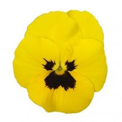 Yellow blotch