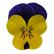 yellow violet jump up