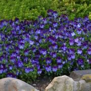 blue purple jump up