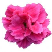 Bicolore rosso rosa