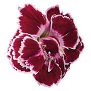 Red White Bicolor