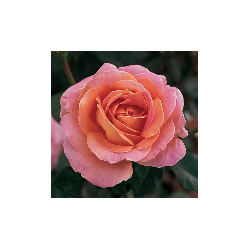 Hybrid Teas Roses Meilland