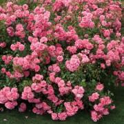 Pink Meilove