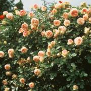 Gpt Eden Rose