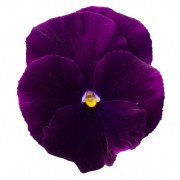 Viola puro