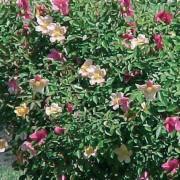 Chinensis Mutabilis