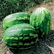 Grafted Watermelon